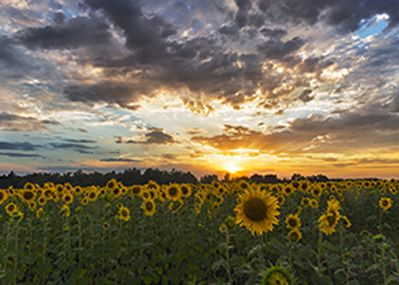 field of sunflowers sunset clouds.