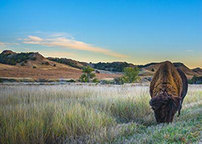 Wild Buffalo roaming near the campground in the Badlands National Park South Dakota